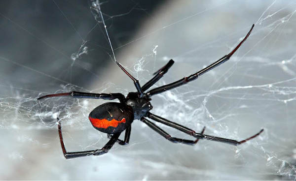 Spider Treatment Albury